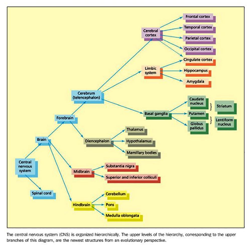 HierarchyOfTheCentralNervousSystem