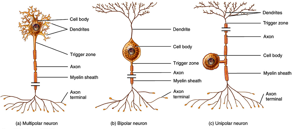 structure and function of neurons essay help