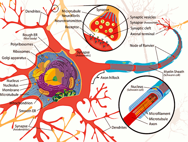 neuron-cell-complete-diag