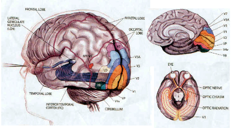 memory and the brain essay First of all, the hippocampus, which is the most important area for memory in the brain, transmits information from short-term memory to long-term memory (foer 2007) information collected by the senses is received in various parts of the cortexes within milliseconds, and this process is called immediate memory.
