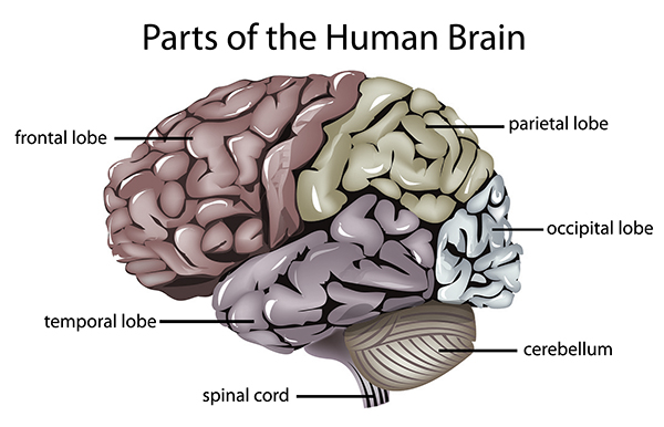 essay on the human brain The brain is the most complex organ in the human body, and perhaps the most remarkable start finding out how it works with our beginner's guide.