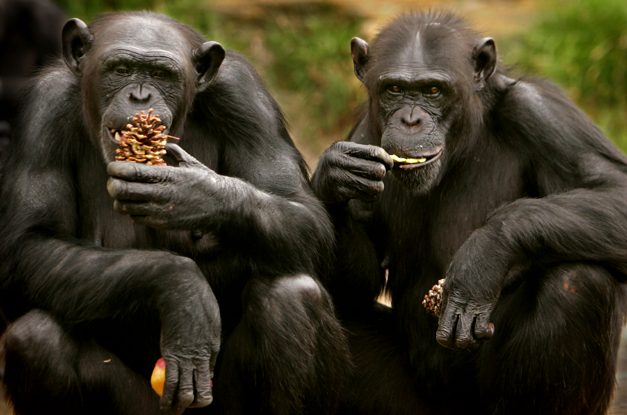 chimps-gestures