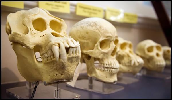 Le processus d'évolution qui a conduit aux humains modernes d'purb dpurb site web.jpg