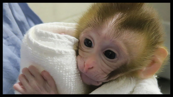 Baby rhesus macaque Grady