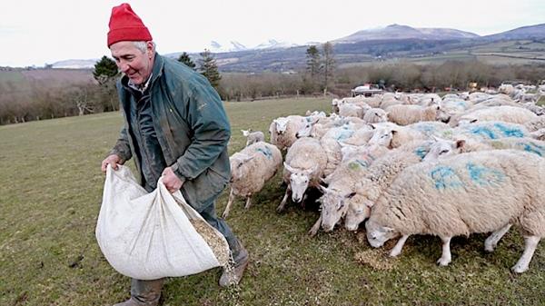 Fermier Anglais nourissant ses moutons